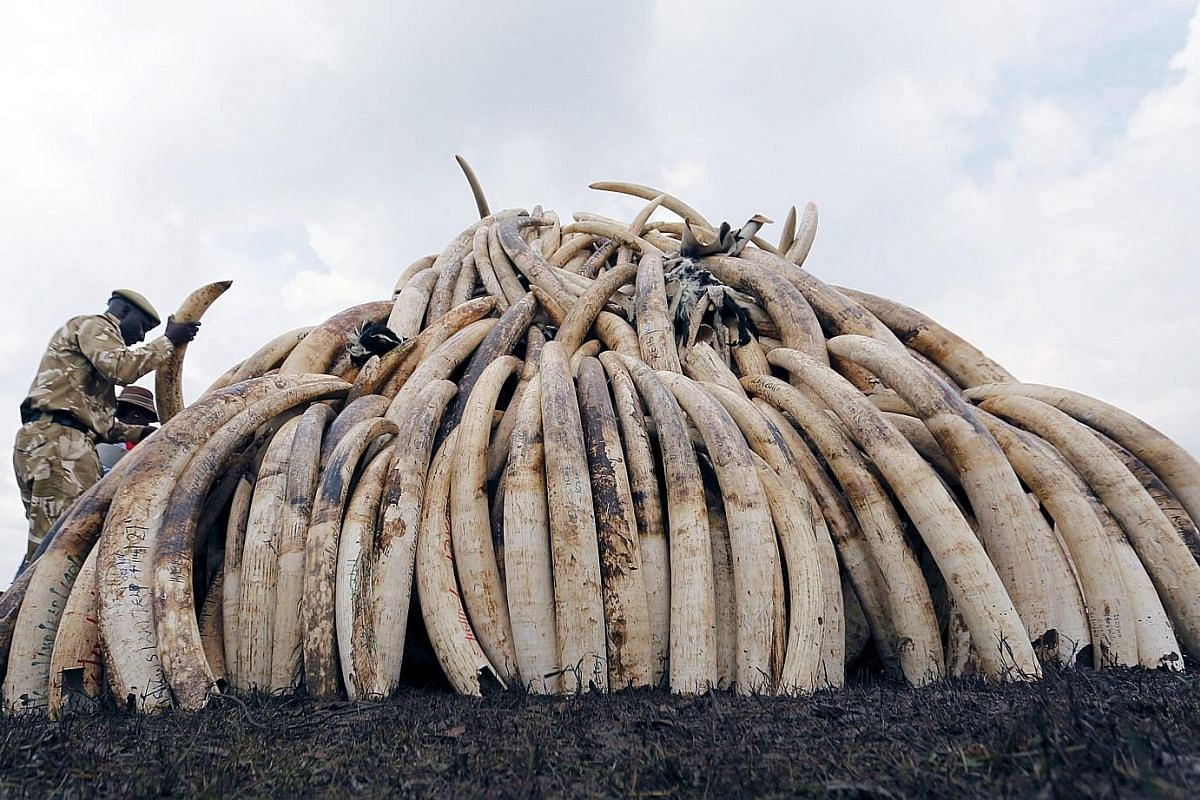 A Kenya Wildlife Service ranger (left) stacking elephant tusks, part of a batch of about 105 tonnes of confiscated ivory, to be set ablaze at the Nairobi National Park. Close to 100 African elephants are killed every day for their ivory - one every 1