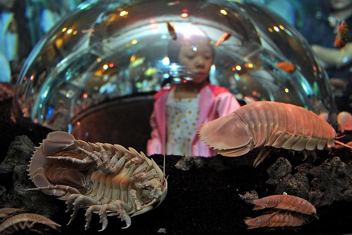 Visitor Dilys Chia looking at the little-known pre-historic Isopod at the crustacean exhibit at Underwater World Singapore in 2009.