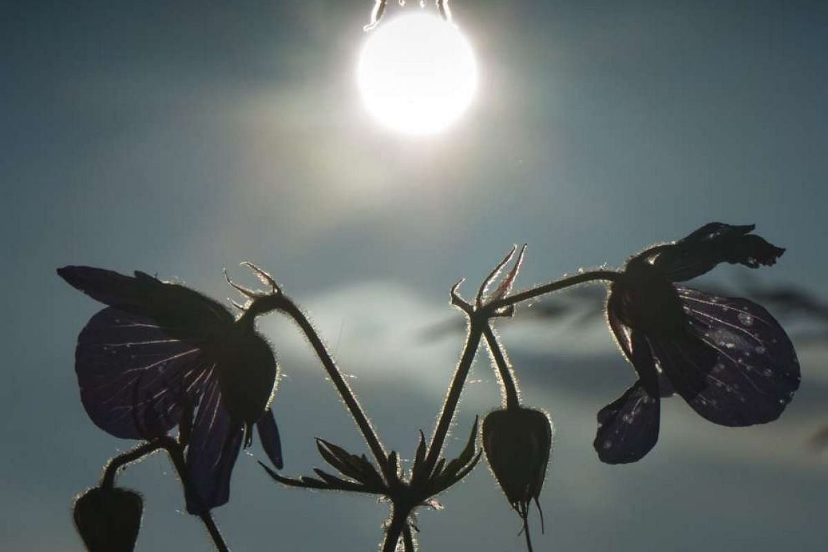 A bumblebee hovers over blooming flowers with the sun in the background, in Frankfurt Main, Germany, on June 9, 2016.