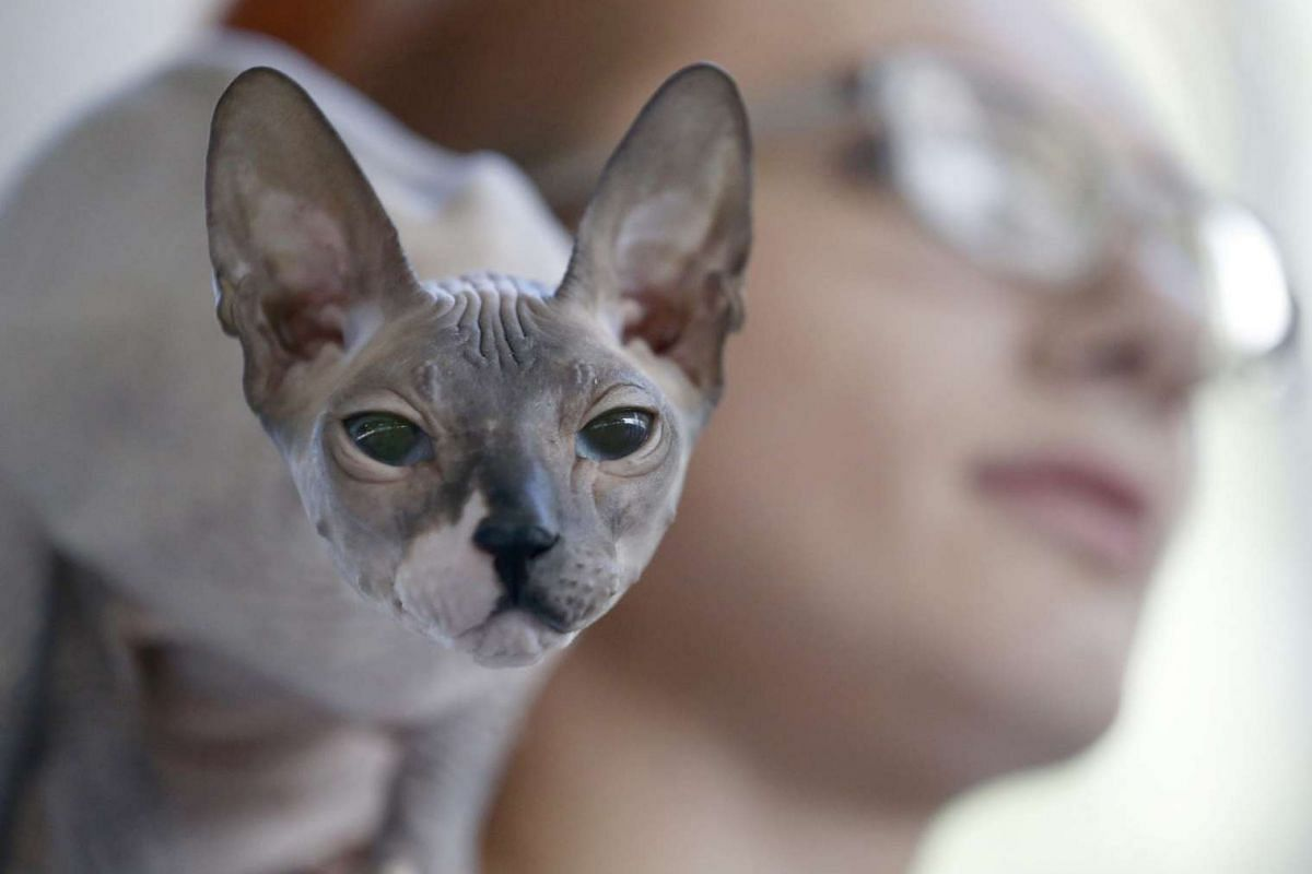 A Sphynx cat climbs on the shoulder of his owner during the international exhibition World Cat Show - 2016, in Minsk, Belarus, on June 12, 2016. The exhibition for cat lovers displays more than 300 cats and features cat activities, competitions and s