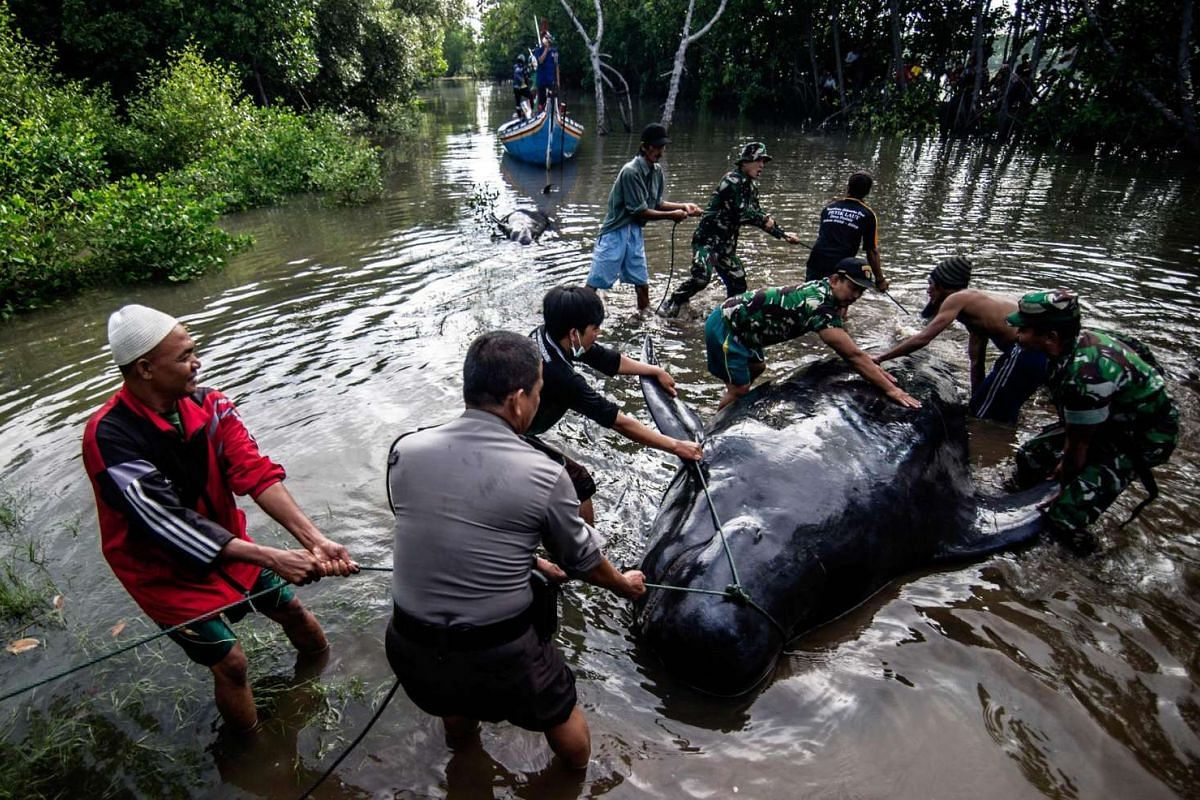 Indonesian environmental activists, military and police personnel and villagers try to help a group of short-finned pilot whales who came ashore during a high tide in Probolinggo, East Java province on June 16, 2016.