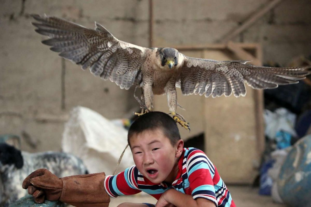 Azat Shajbyrov reacts with a baby falcon on his head in a village of Bokonbaevo, Issyk-Kul area in Kyrgyzstan on June 22, 2016, as he dreams of continuing a family tradition of golden eagle hunting.