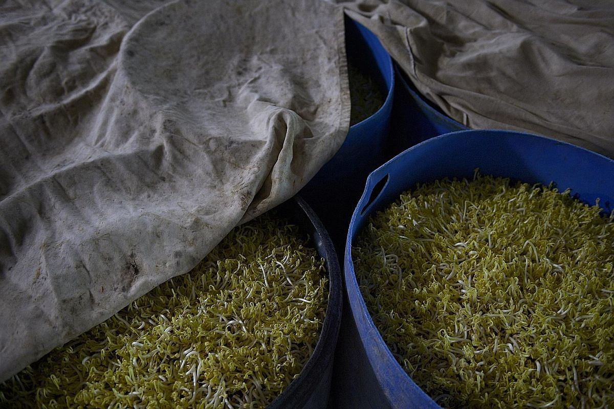 The beans take only about five days to germinate and sprout before they are harvested. They are covered and placed in a dark and warm environment to encourage germination. Two types of bean sprouts grown on the Chiam Joo Seng Towgay Farm in Lim Chu K