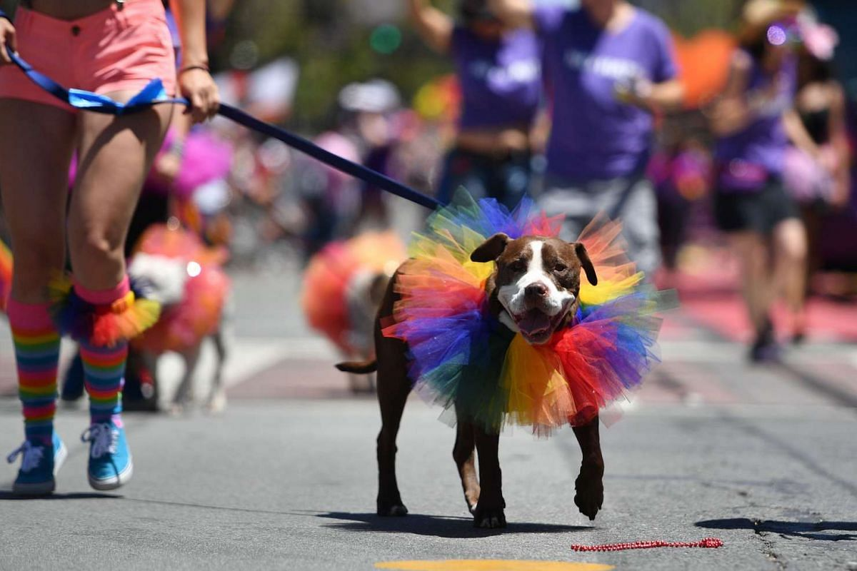 A dog is walked along the San Francisco Pride parade route in San Francisco on June 26, 2016.