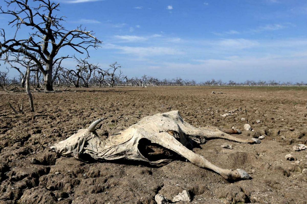 A cattle carcass is pictured on the Agropil ranch as the Pilcomayo river faces its worst drought in almost two decades, in Boqueron, on the border between Paraguay and Argentina on July 3, 2016.