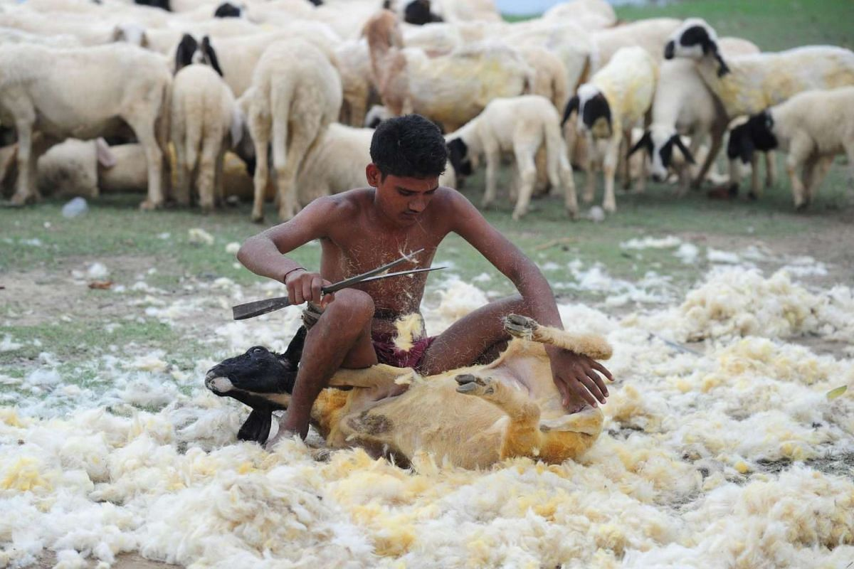 An Indian sheep shearer shears a fleece from a sheep, something done three times a year, in a village on the outskirts of Allahabad on July 3, 2016.