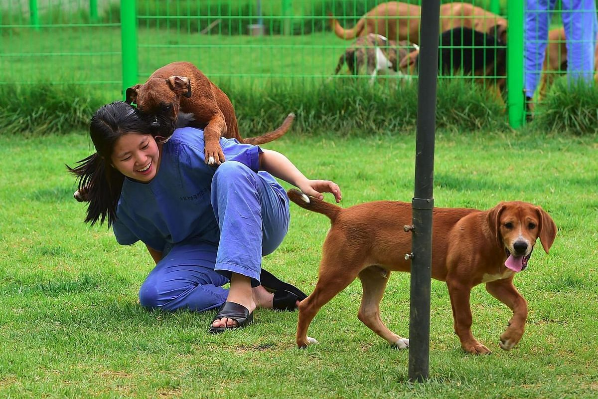 A South Korean researcher playing with cloned dogs in the fenced lawn at the Sooam Biotech Research Foundation, in Seoul on June 29.