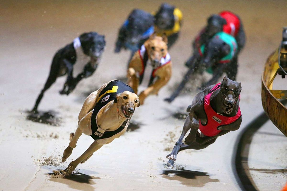 Greyhound dogs racing at the Wentworth Park Stadium in Sydney on July 13, 2016.