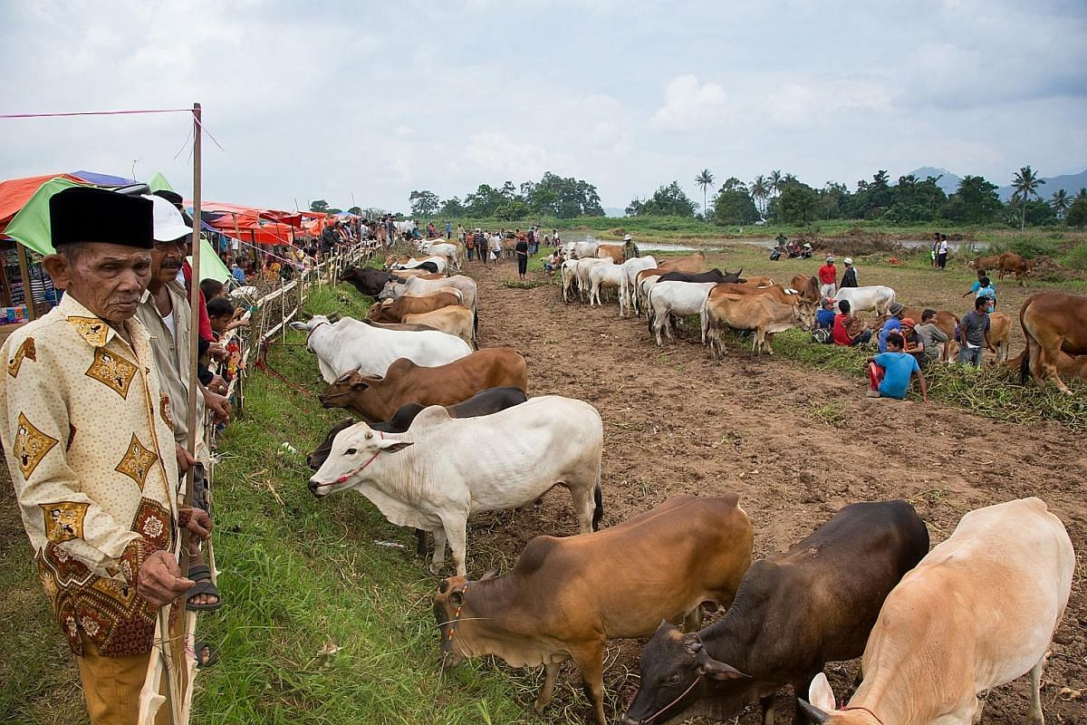 Cow racing has a commercial significance as cow owners vie to show off the strength and stamina of their animals. Their value increases if they perform well. Women selling groundnuts and others hawking satay, fried bananas and toys give the event a f