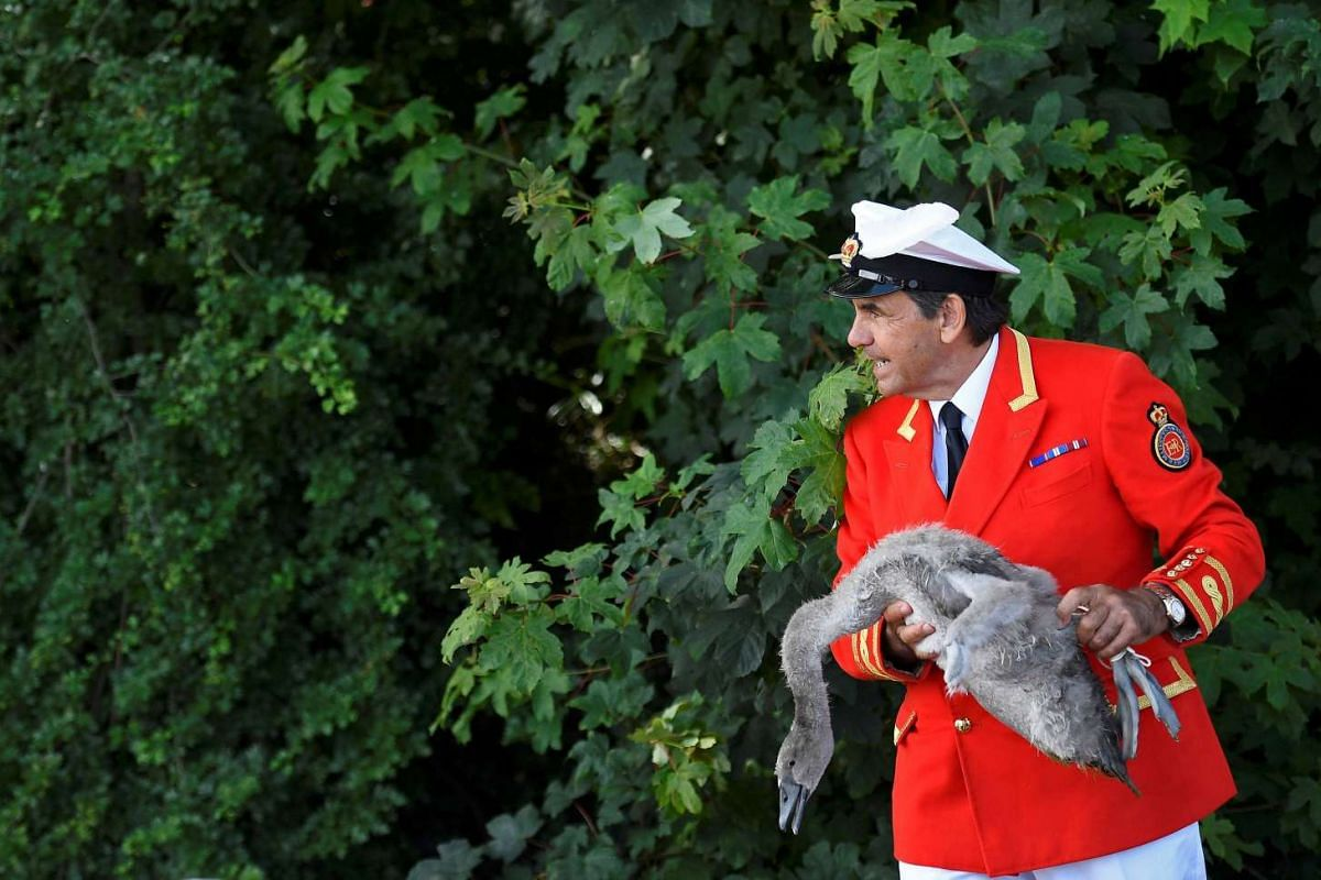 Mr David Barber, The Queen's Swan Marker, holds a cygnet, or young swan, during Swan Upping, the annual census of the swan population on the River Thames, on July 18, 2016.