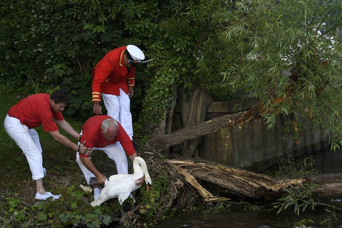 A swan is returned to the river during Swan Upping, after being counted and tagged, along the River Thames near Shepperton, southern England, on July 18, 2016. Unmarked mute swans are now counted - rather than eaten - in the tradition, that has been