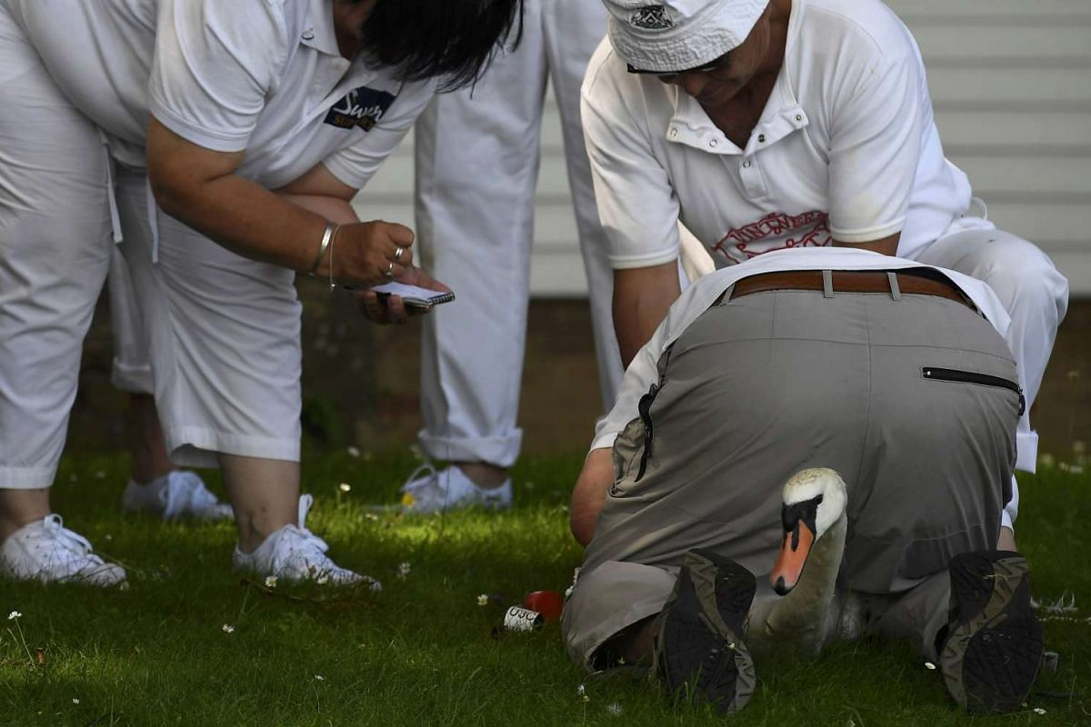 A swan is examined during Swan Upping, during which unmarked mute swans are counted and tagged, near Sunbury, southern England, on July 18, 2016.