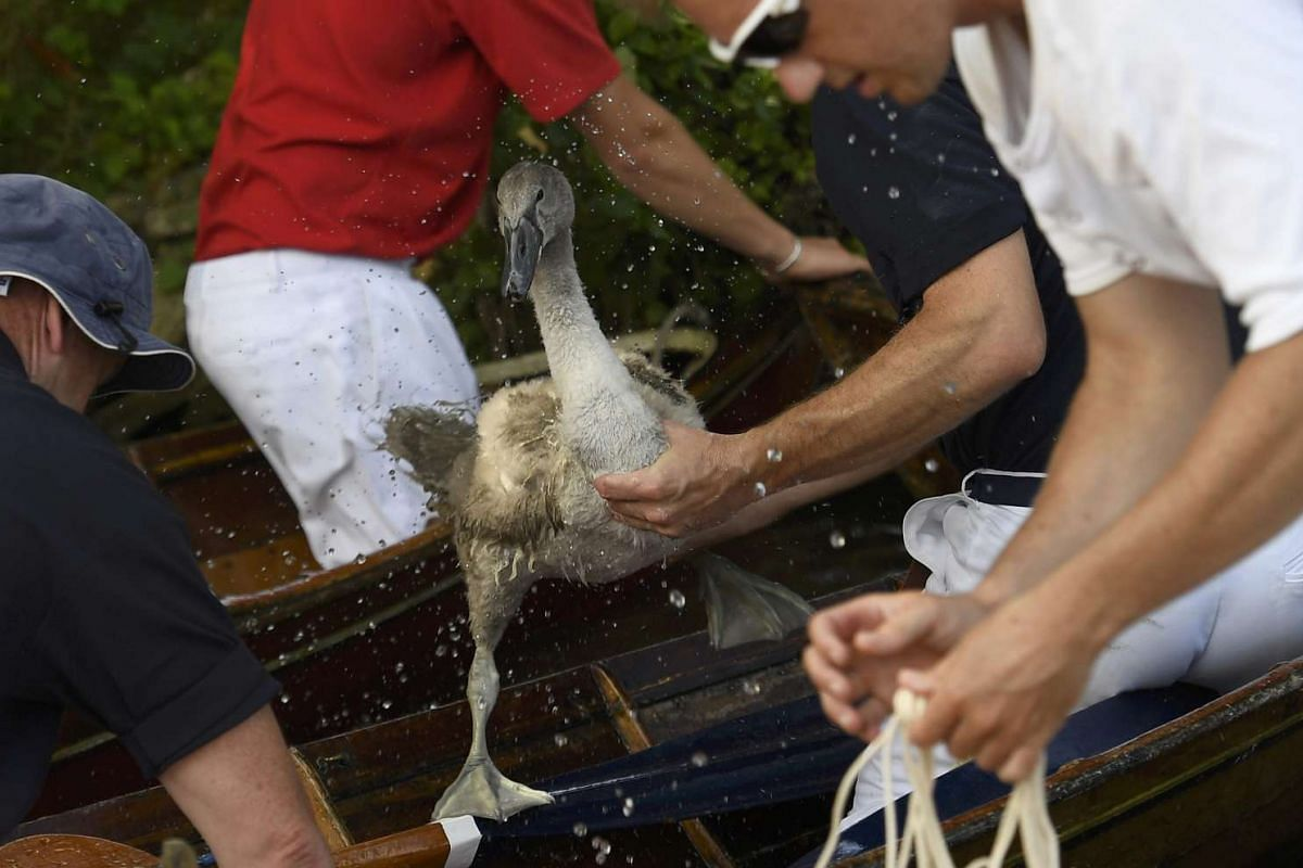 A cygnet, or young swan, is restrained by crew members during Swan Upping, near Shepperton, southern England, on July 18, 2016.