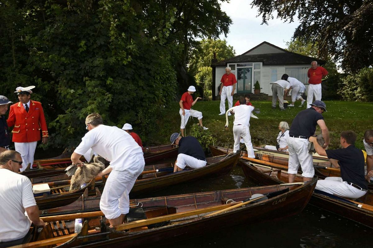 Crew members examining swans during the annual Swan Upping census exercise, along the River Thames, on July 18, 2016.