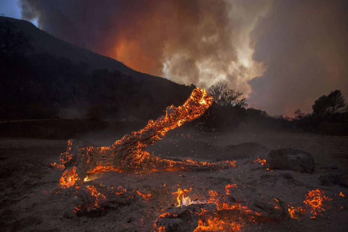 A burning oak is seen in Placerita Canyon at the Sand Fire on July 24, 2016 in Santa Clarita, California.