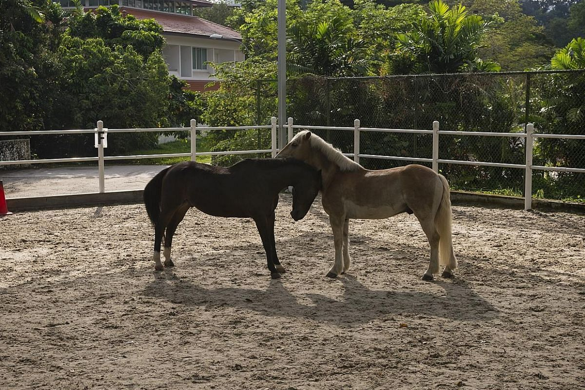 Lando (left), a 12-year-old horse whose breed is unknown, and Nanno, an eight-year-old of the Haflinger breed, take a minute to socialise in the riding arena during an Equal therapy session. The six horses that Equal owns were donated by private indi