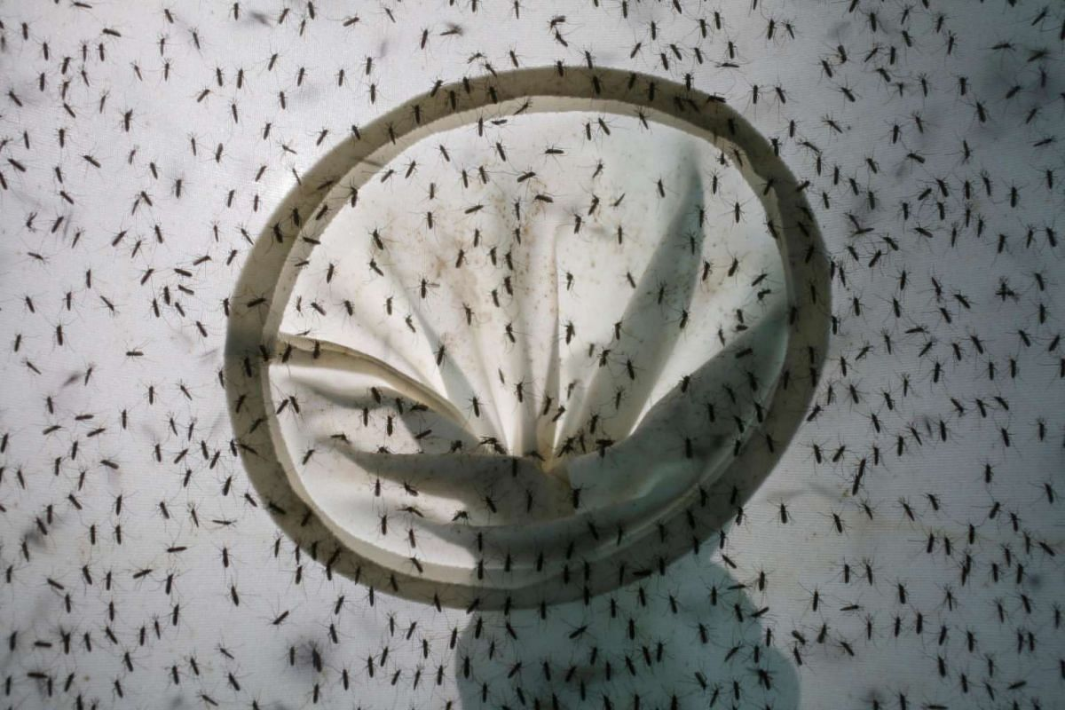 "Mosquitoes are bred inside Sun Yat-Sen University-Michigan State University Joint Centre of Vector Control for Tropical Disease, the world's largest ""mosquito factory"" which breeds millions of bacteria-infected mosquitoes."