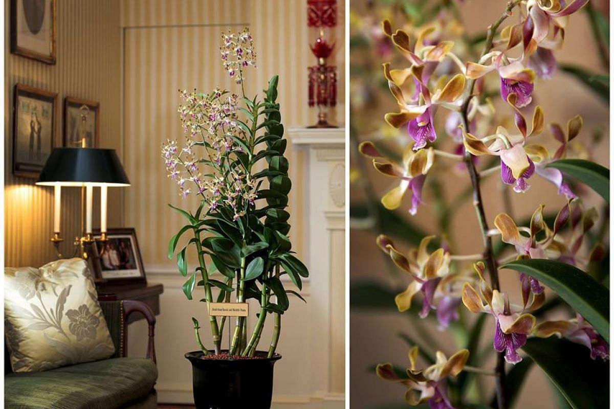 The Dendrobium Barack and Michelle Obama, a hybrid combining orchid species native to Singapore and Hawaii, was dedicated to President Barack Obama and Mrs Obama.