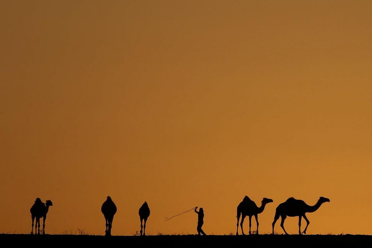 A young Bedouin lead his camel herd at sunset outside Beersheba, in southern Israel, August 3.