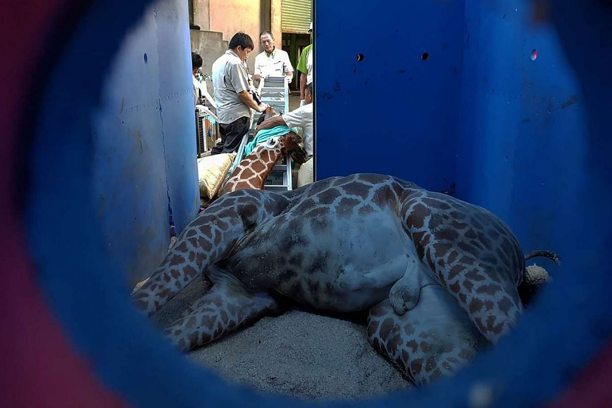 Zoo staff caring for a giraffe at the zoo in Taipei, on Aug 10, 2016. A seven-year-old male giraffe has died from anxiety on a trip from a Taiwan zoo to a special breeding programme, the latest animal death to spark angry calls for tougher laws on pr