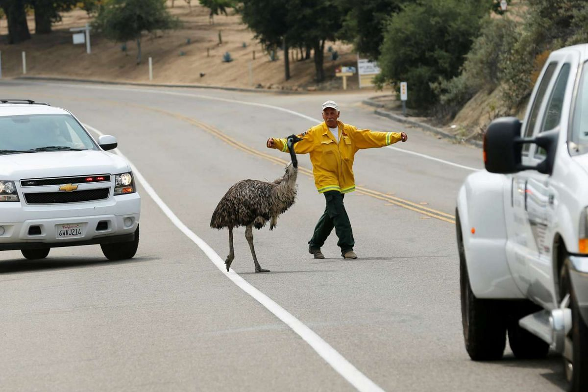 A California Fire official tries to herd an Emu off the highway as a wild fire continues to burn just north of the US-Mexico border near Potrero, on June 21, 2016.