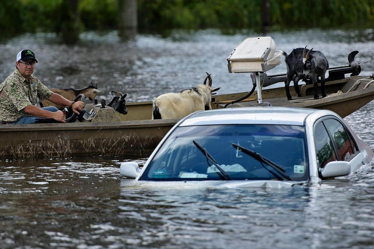 A man navigates a boat of rescued goats past a partially submerged car after flooding in Gonzales, Louisiana, on August 16.