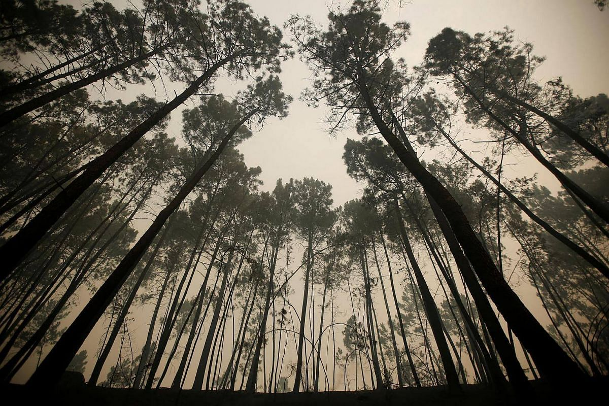 Pine trees are seen after a forest fire near Sao Pedro do Sul, Portugal on August 14.