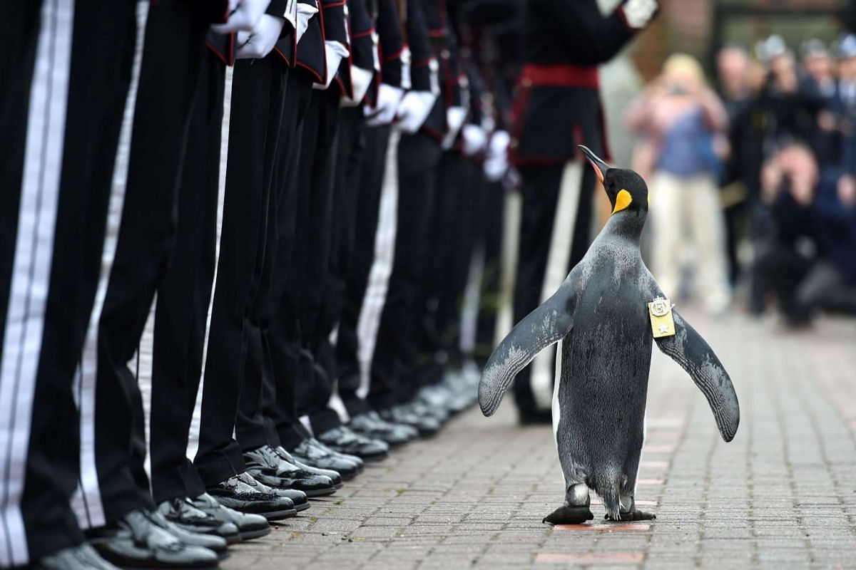 Penguin Nils Olav inspects the Guard of Honour formed by His Majesty the King of Norway's Guard on Aug 22, 2016 at Edinburgh Zoo in Scotland.