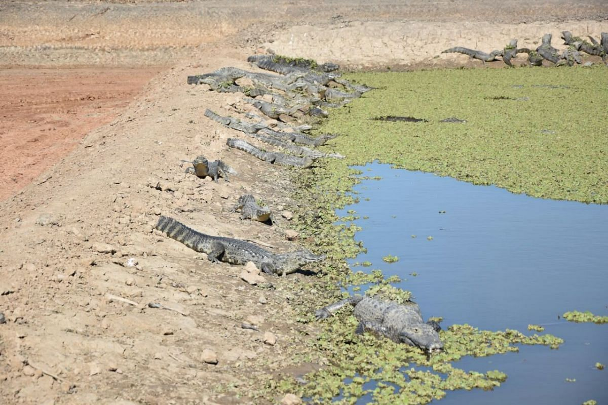 Crocodiles in a zone of the mouth of the Pilcomayo River, in Boqueron, Paraguay.