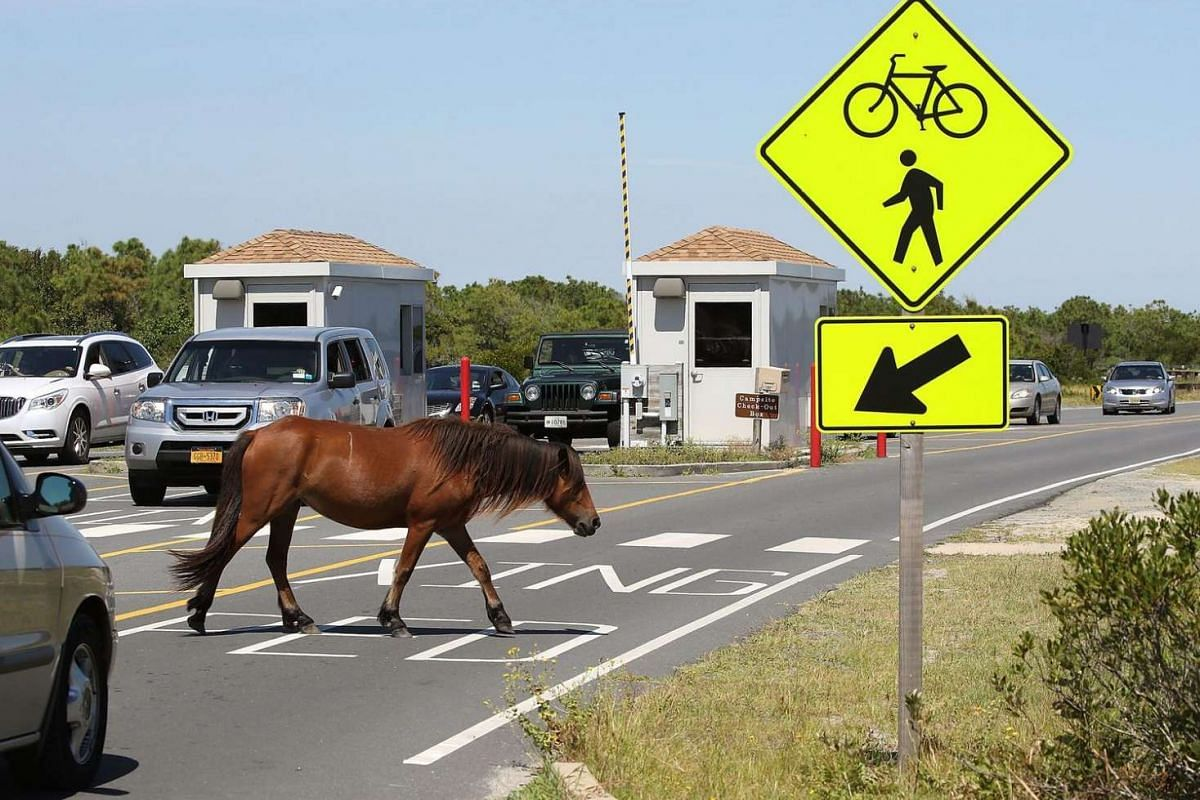 A wild pony roams free at Assateaque Island, Maryland, on Aug 24.