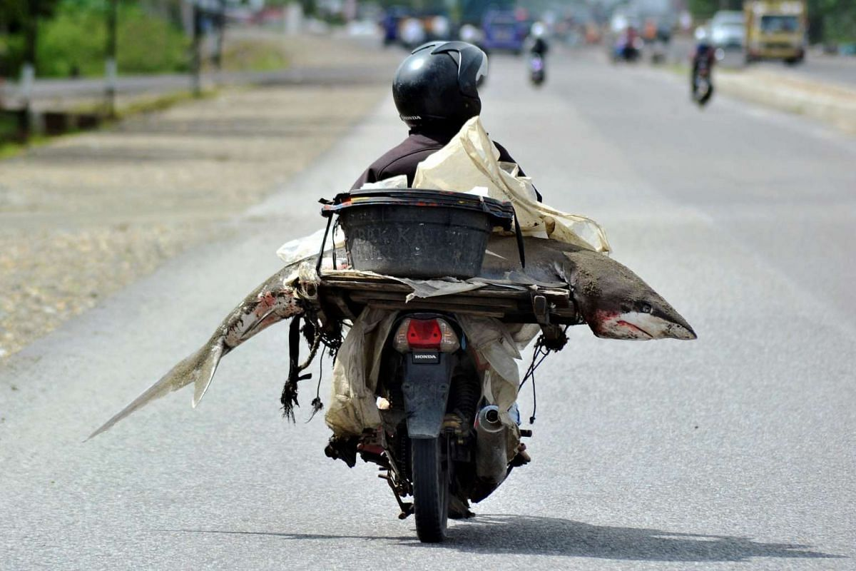 A fishmonger carries a shark on his motorcycle in Padang, West Sumatra, Indonesia on Aug 25, 2016.