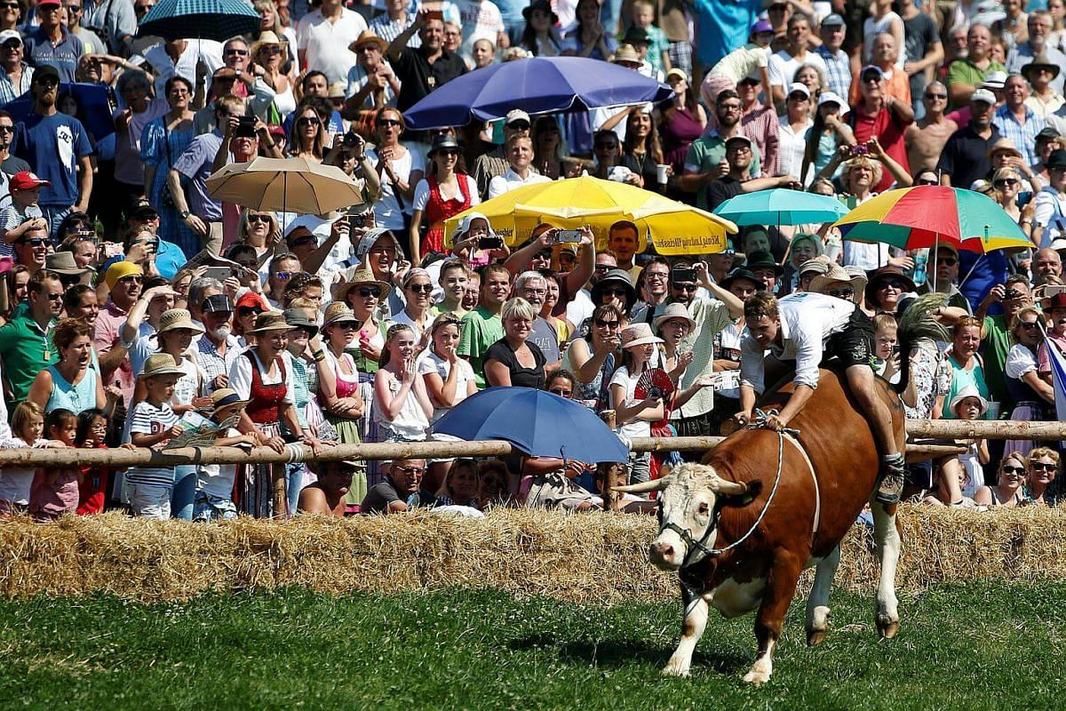 Farmer Franz Schaller rides on an ox called Napoleon during a traditional ox race in the southern Bavarian village of Muensing near Lake Starnberg, Germany on Aug 28, 2016.