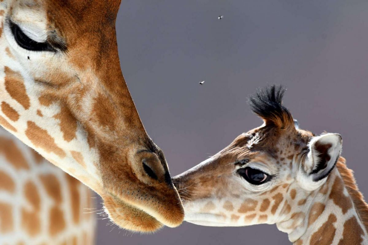 Baby giraffe of Niger (Giraffa Camelopardalis) Kenai (right), born on Aug 25, 2016, stands next to his mother Dioni at the zoo of La Fleche, north-western France on Aug 31, 2016.