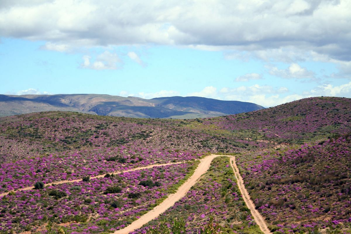 The wild flowers of South Africa's Western Cape cover the landscape in a riot of colours from mid- August to mid-September.