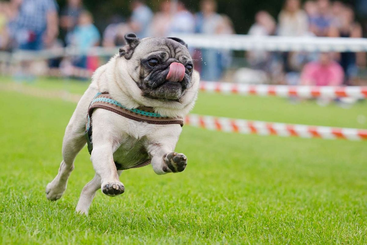 A pug competes at the 5th southern Germany pug and bulldog race in Wernau on Sept 4, 2016.