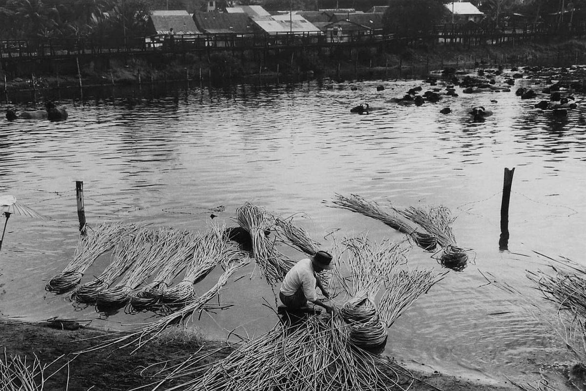 A man drying plant fibres at a pond in Potong Pasir and a herd of cattle are seen taking a swim.