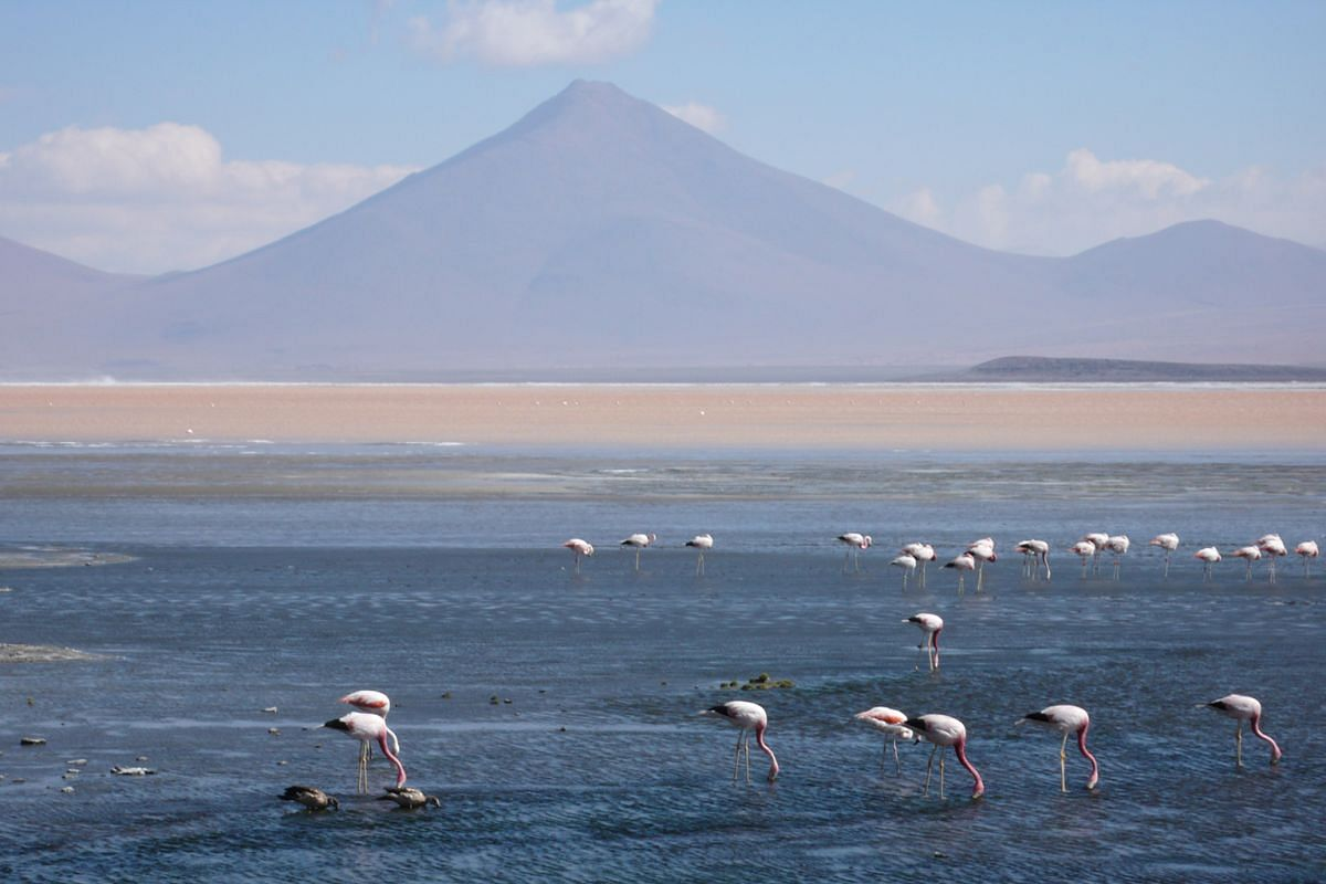 Pink flamingos at Laguna Colorada, a lake in Bolivia that changes colour at different times of the day.