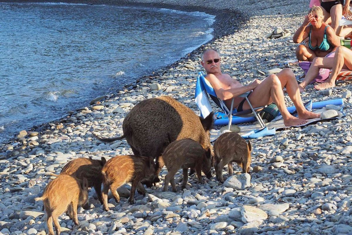 A wild boar and her piglets arrive to cool off in sea water while people sunbathe on Sept 12, 2016 in Cerbere, south-western France.