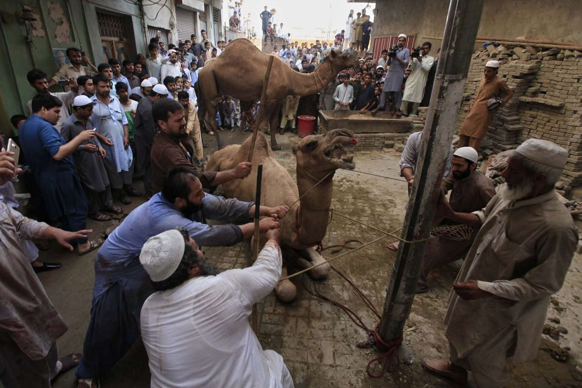 Pakistani men prepare to sacrifice a camel during the Eid al-Adha celebration in Peshawar, on Sept 13, 2016.