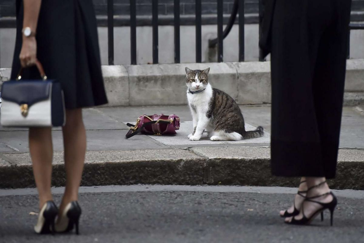 British Prime Minister Theresa May's cat, Chief Mouser to the Cabinet Office, Larry, sits next to a handbag on Downing Street whilst guests arrive for the London Fashion Week reception, in London, Britain,  September 15, 2016. PHOTO: EPA