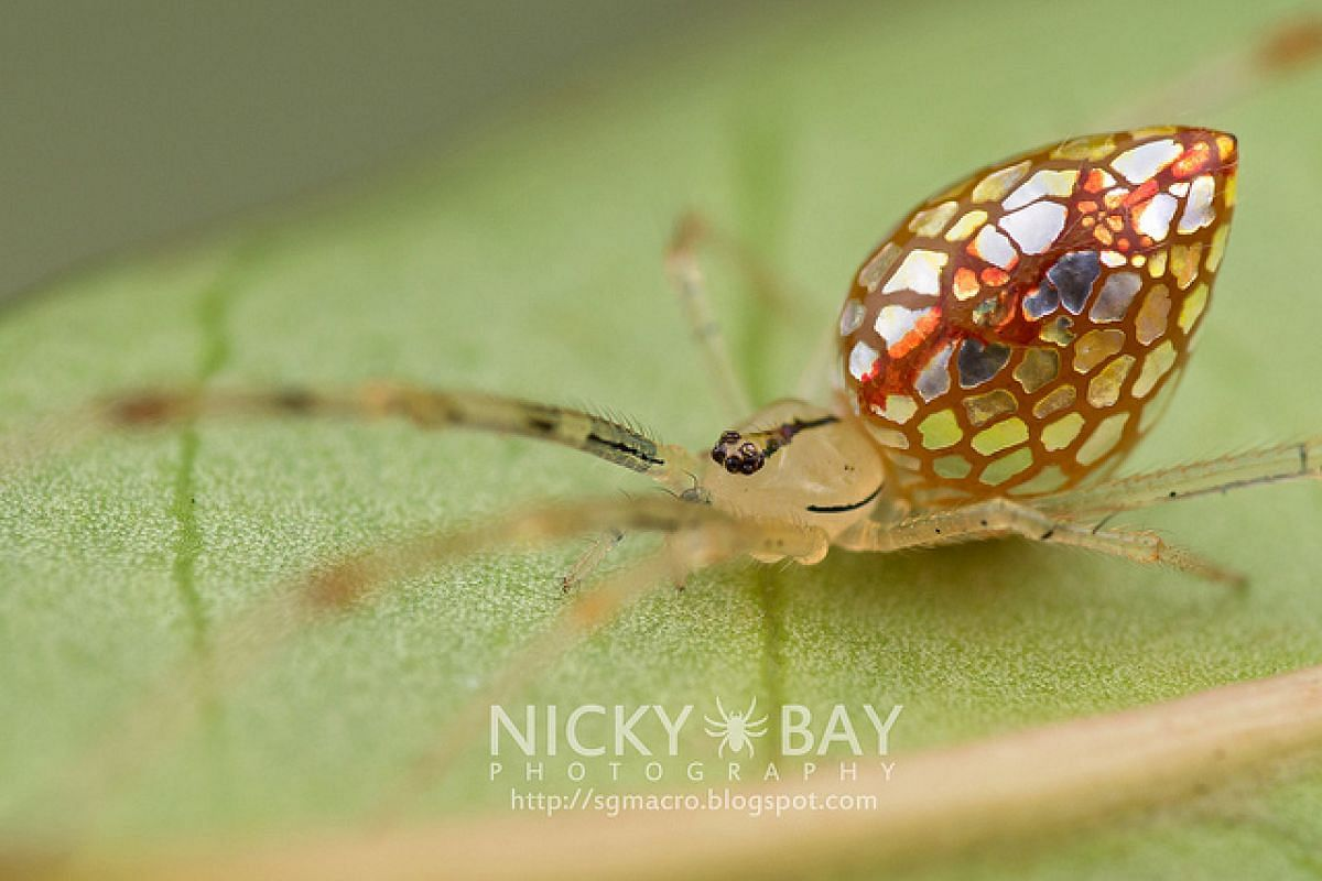 The Mirror comb-footed spider.
