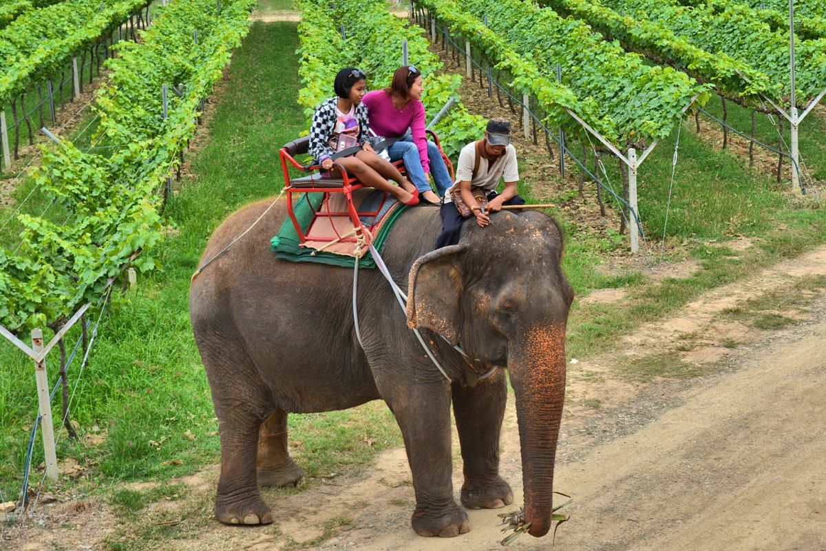Visitors to Hua Hin Hills Vineyard can ride elephants through the grounds or take guided tours to learn about its viticulture methods.