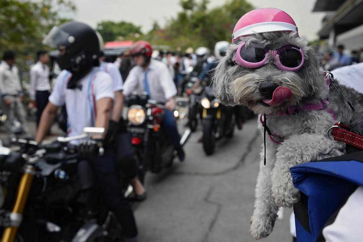 A dog clad in a mini-helmet and sunglasses belonging to a participant of the 2016 Distinguished Gentlemen's Ride is pictured before setting off from Turf City on Sept 25, 2016.