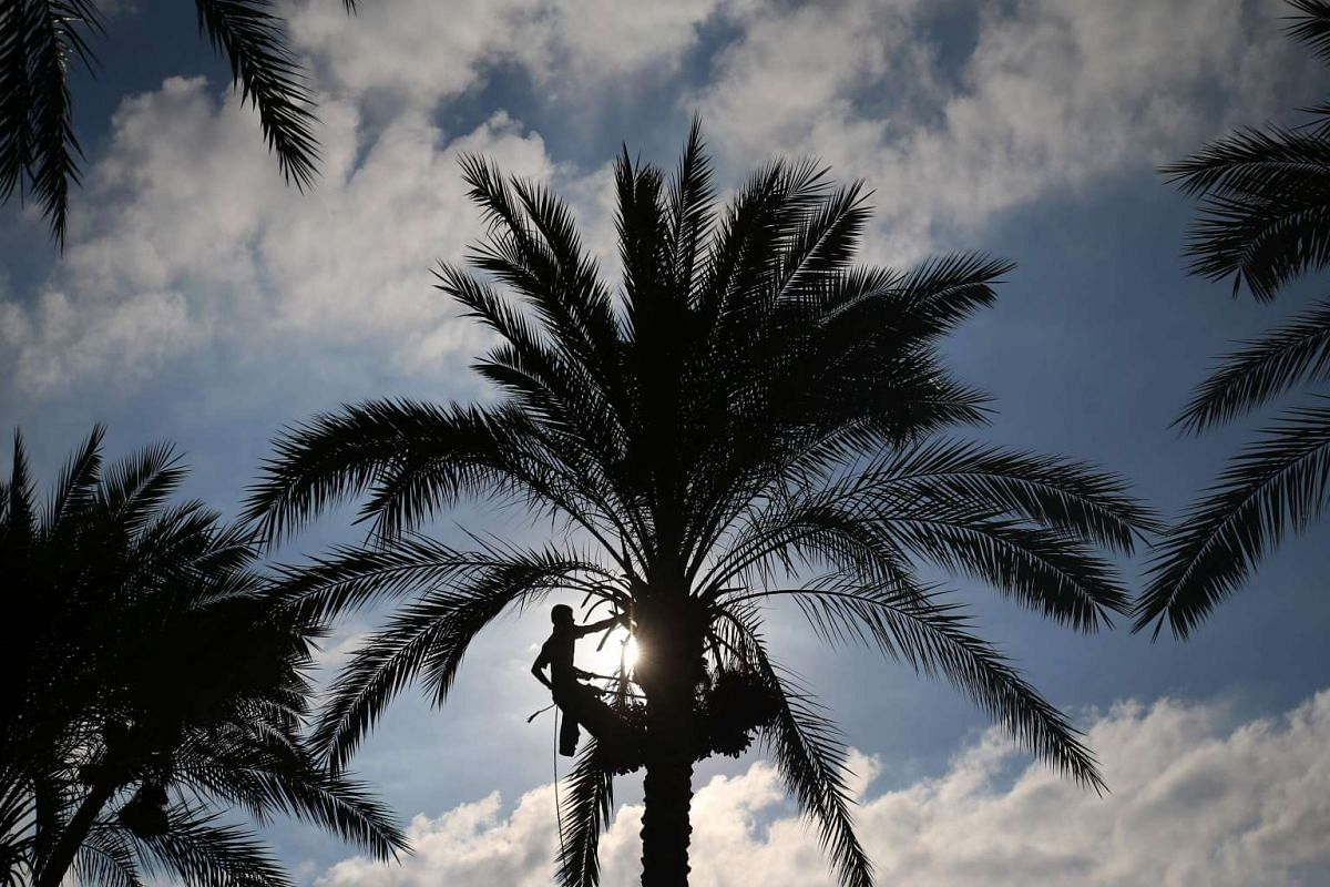 Palestinians harvest dates from palm trees on Sept 29 in Deir al Balah, in the centre of the Gaza Strip.
