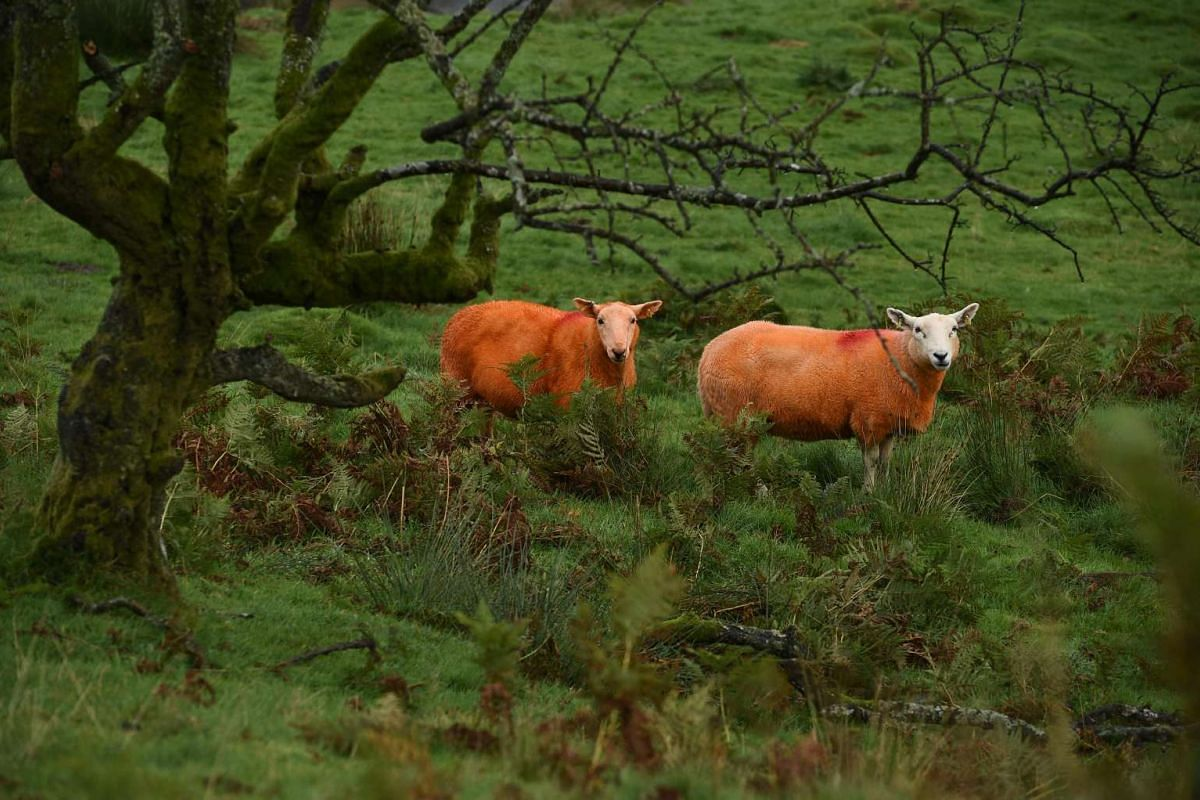 Sheep, painted orange, that belong to farmer Pip Simpson, graze on a hillside in Troutbeck in the Lake District, northern England, on Sept 29.