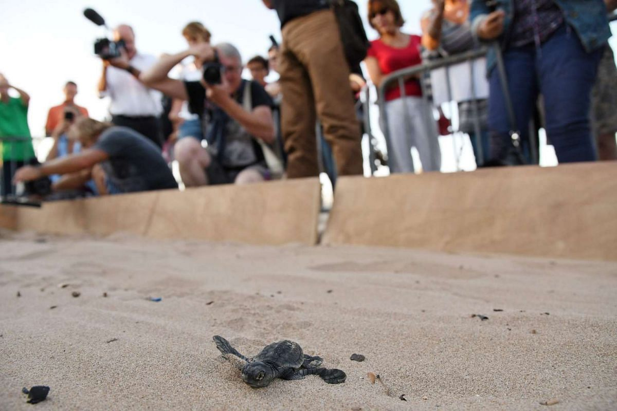 People look as a baby sea turtle heads to the sea, on Oct 3, 2016, in Saint-Aygulf beach, near Cannes, southern France. PHOTO: AFP