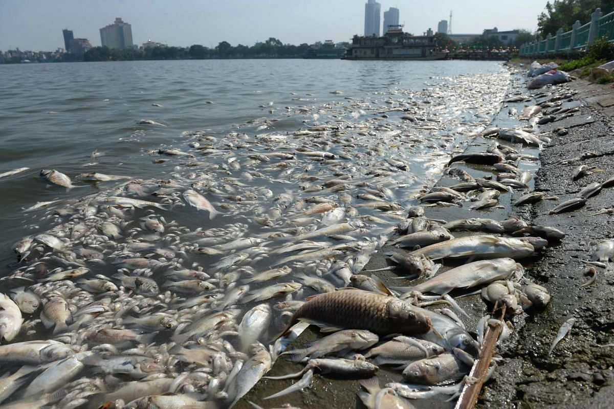 Dead fish are pictured at a corner of Hanoi's largest lake Ho Tay on Oct 3, 2016. A mass fish death has been found during the week-end at the lake due to its highly polluted water, according to the local media. PHOTO: AFP
