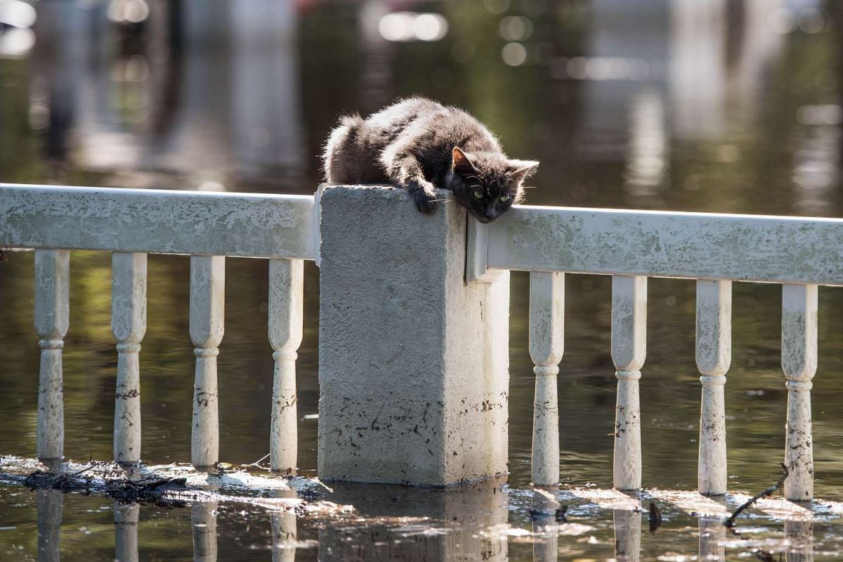A cat is stranded on a fence due to floodwaters from the Lumber River on October 11, 2016 in Fair Bluff, North Carolina. PHOTO: GETTY IMAGES/AFP