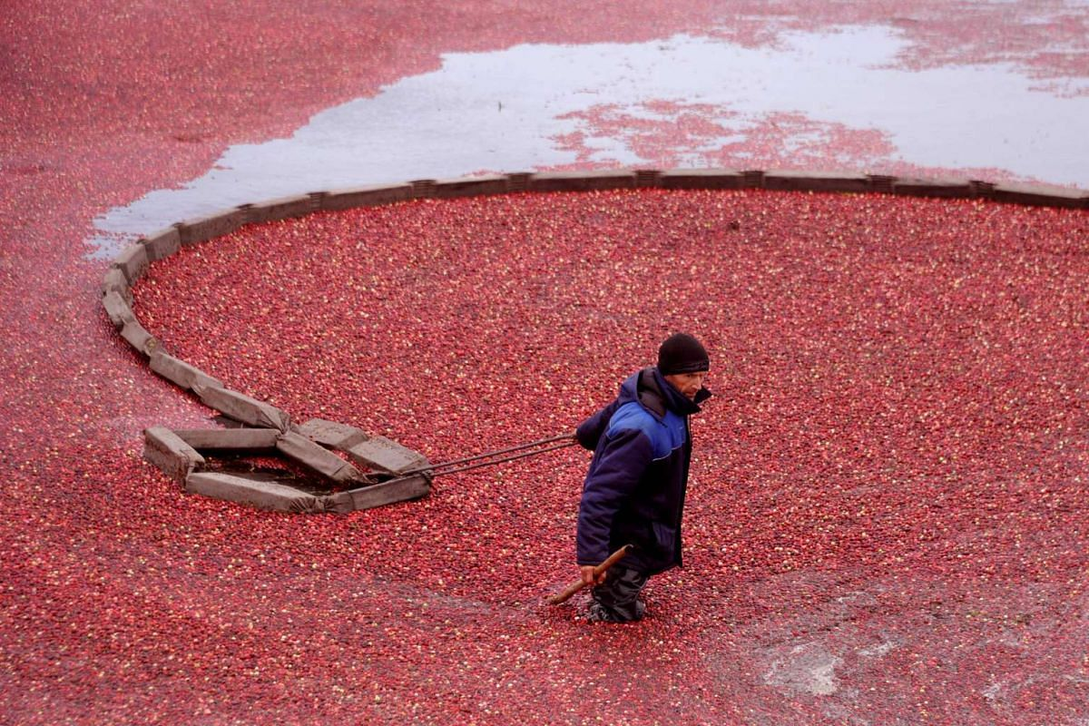 Belarussians harvest cranberries in the village of Selishche, some 290km south of Minsk on Oct 12, 2016.