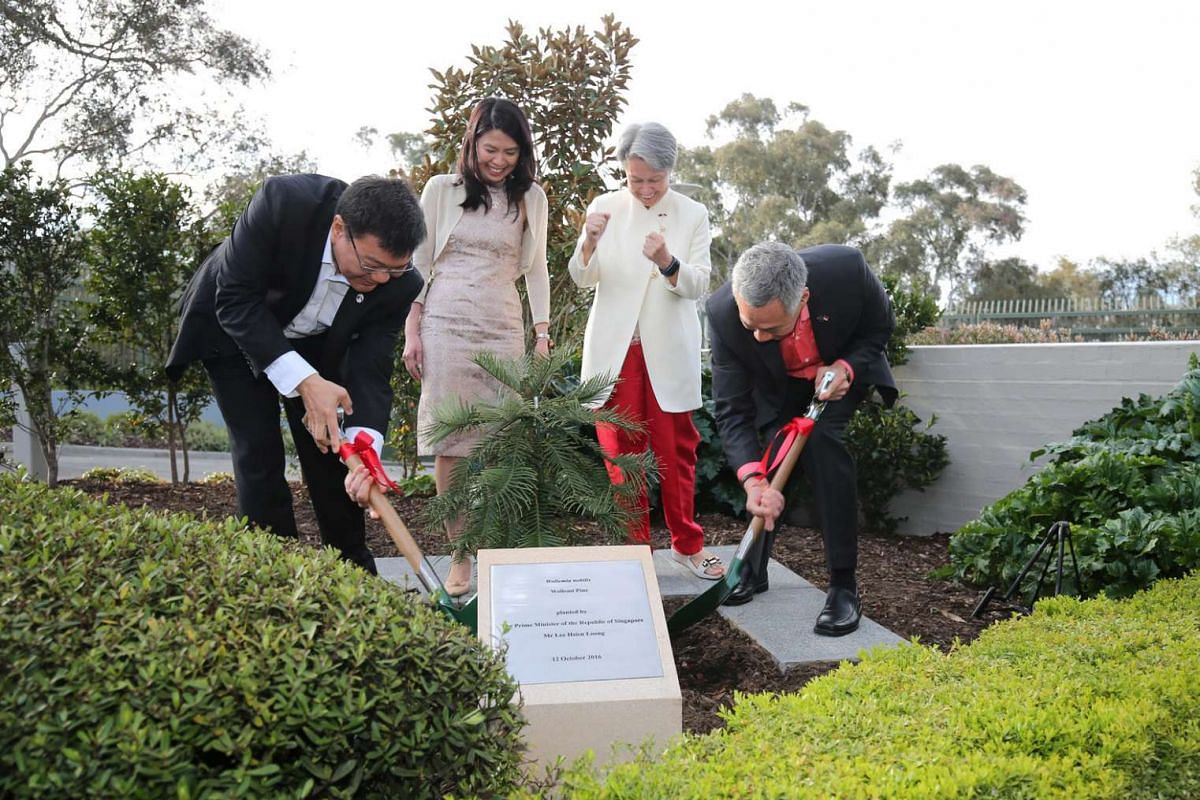 PM Lee Hsien Loong plants a Wollemi Pine - a long-living coniferous tree previously thought to be extinct - at the Singapore High Commission. It is the same species that then-PM Tony Abbott gifted to Mr Lee when he visited Singapore last year.